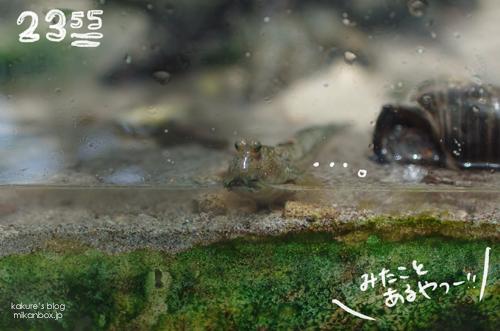 アクアマリンふくしま 熱帯アジアの水辺 ミナミトビハゼ